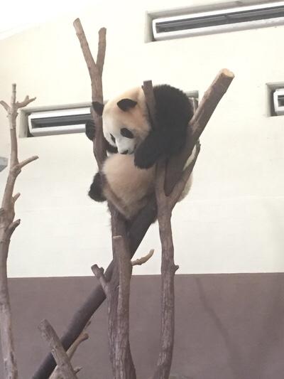 アドベンチャーワールドのパンダ3