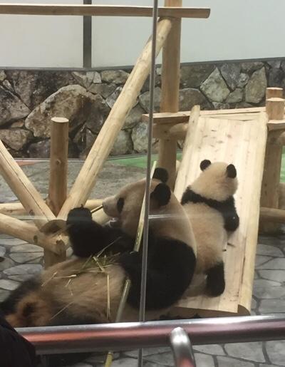 アドベンチャーワールドのパンダの親子