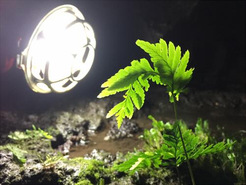 駒門風穴内部の植物