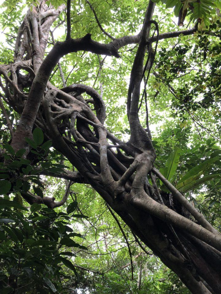 西表島ジャングルの木