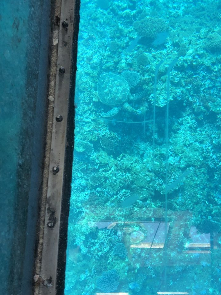 川平湾でウミガメ見つけた!