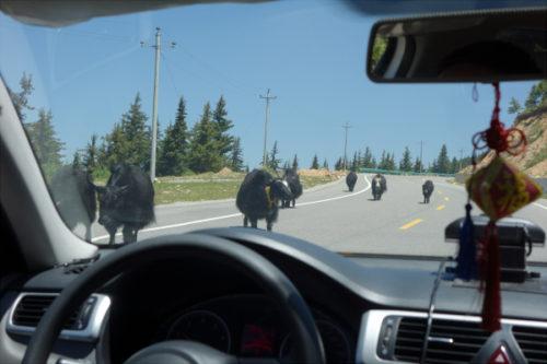 九寨溝空港から黄龍への道に牛がいた